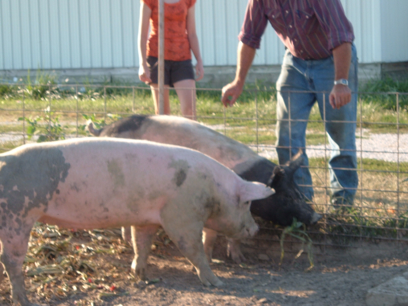 2 hogs in a pen